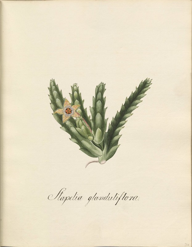 botanical watercolour sketch: S. glanduliflora