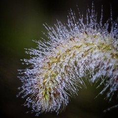 Water droplets on our Chinese fountain grass 'Hameln'