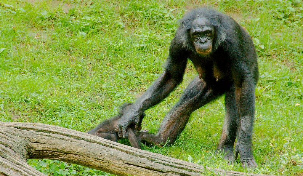 Chimpanzee_3