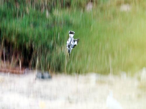 班翡翠俯衝捕魚的瞬間。 圖片來源:朱雲瑋