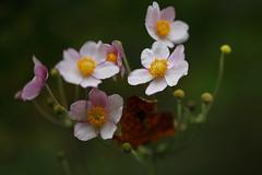 Swamp Roses