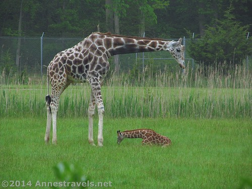 The mother and baby giraffes, Cape May Zoo, New Jersey