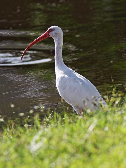 White Ibis 20140908
