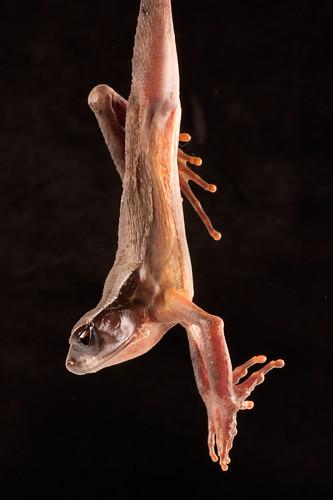 <i>Rhaebo haematiticus</i> Sapo sanguinolento