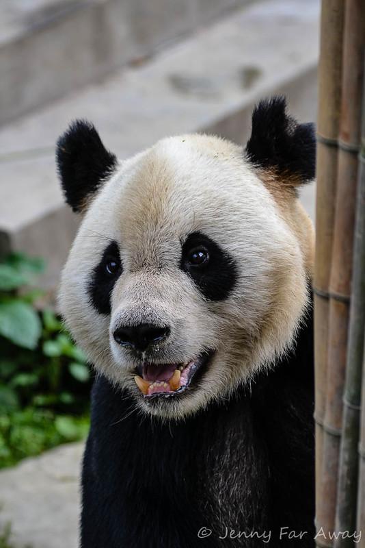 Giant panda face