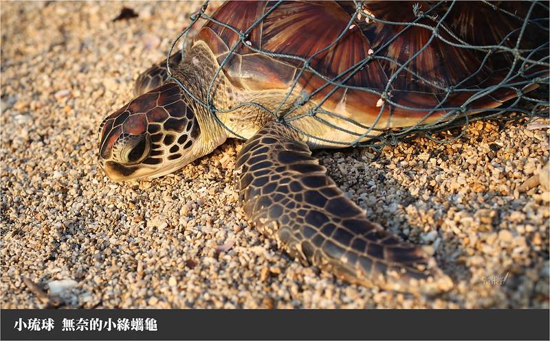 小琉球無奈的小綠蠵龜