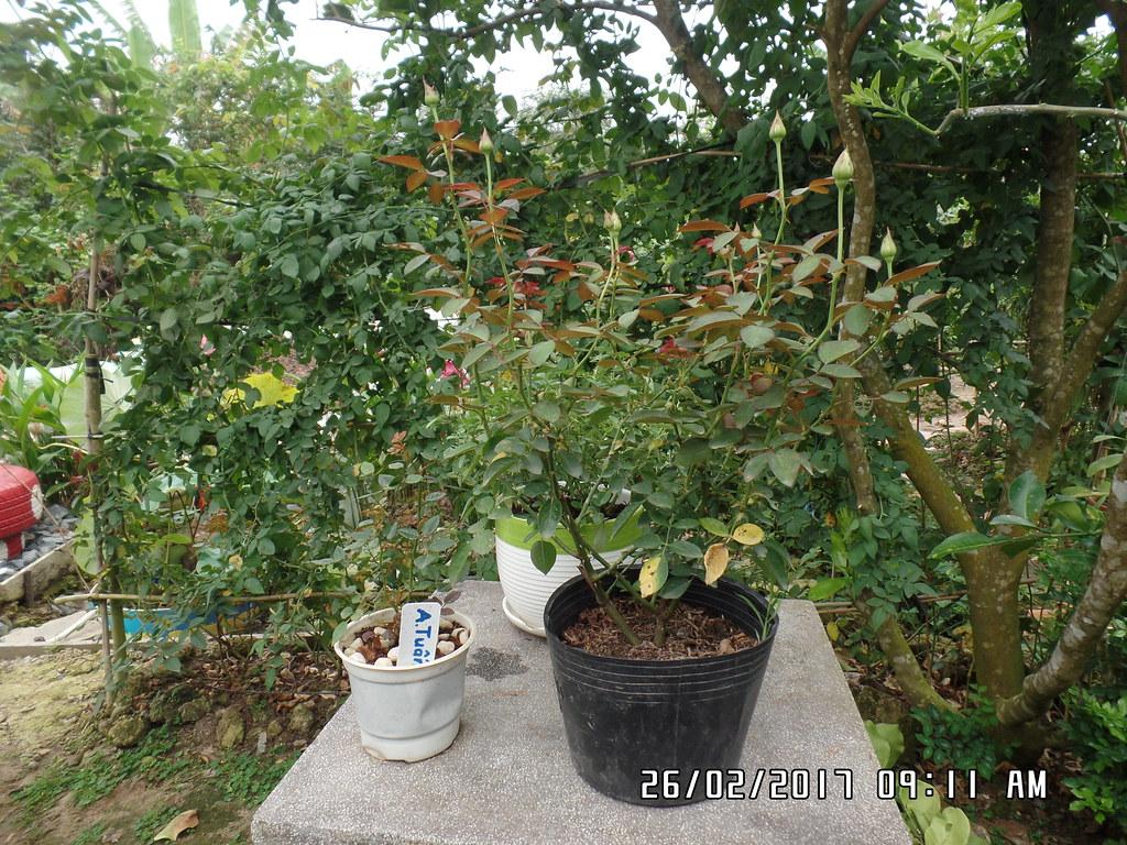 cham soc hoa hong trong chau sau tet (4)