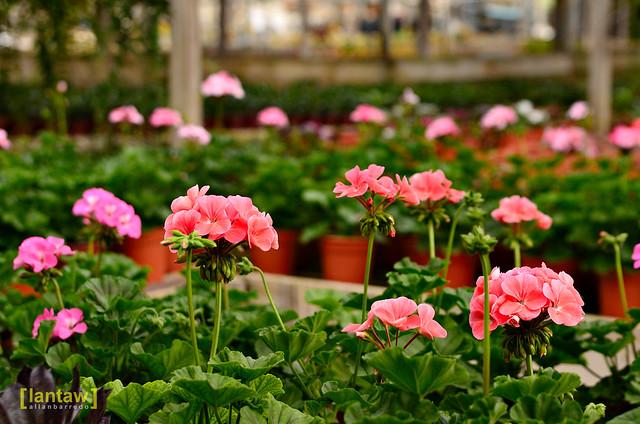 Kundasang Flower Farm