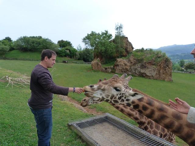 Alimentando a las jirafas en Cabárceno (Cantabria)