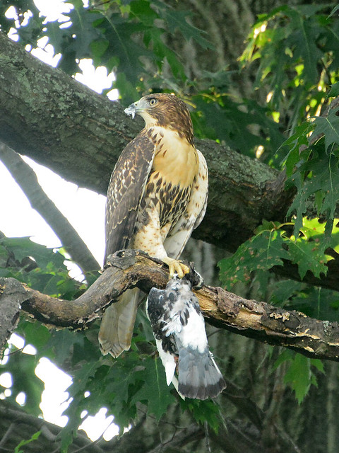 Juvenile Cathedral Hawk & Prey - 3910