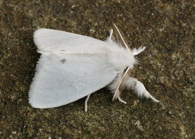2030 Yellow-tail - Euproctis similis
