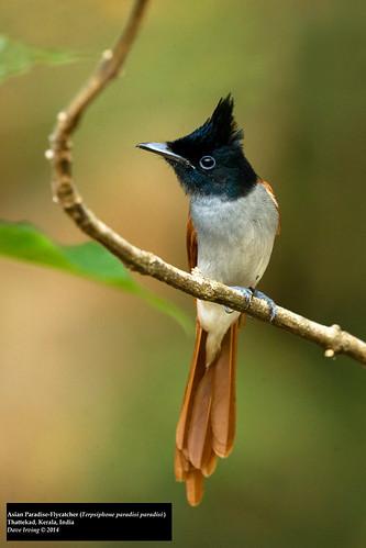 Asian Paradise-Flycatcher (Terpsiphone paradisi paradisi)