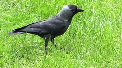 american crow(0.0), eurasian magpie(0.0), blackbird(0.0), rook(0.0), animal(1.0), crow(1.0), fauna(1.0), beak(1.0), stock dove(1.0), bird(1.0), wildlife(1.0),