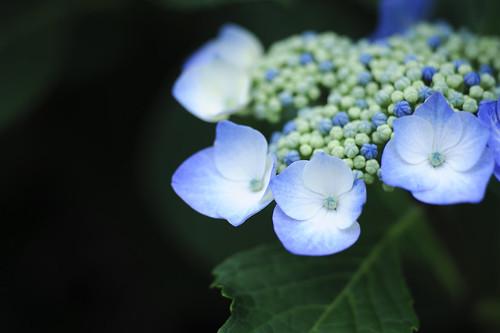 藍の紫陽花