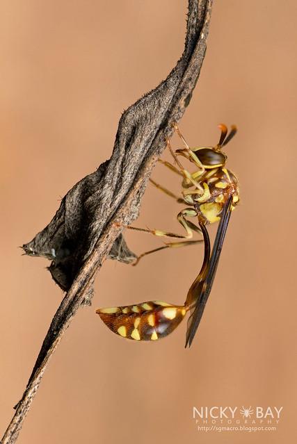 Wasp (Stenogastrinae) - DSC_1945