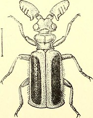 """Image from page 501 of """"Coleoptera : general introduction and Cicindelidae and Paussidae"""" (1912)"""