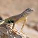 Greater Earless Lizard, Cophosaurus texanus by Dave Beaudette