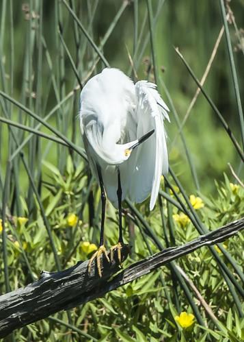 Snowy Egret - preening