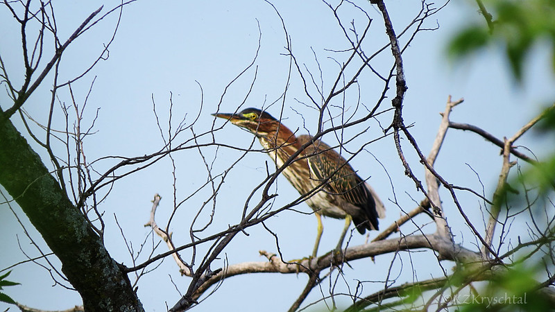 IMG_1699GreenHeron