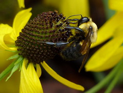 Brown-belted Bumble Bee (male)