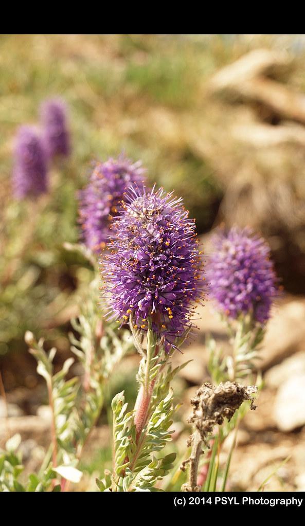 Purple Fringe (Phacelia sericea)