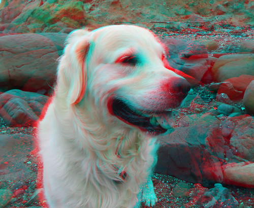 ocean california sea cliff dog chien seascape cão beach goldenretriever real coast 3d still sand rocks surf waves break flat pacific sunny anaglyph hond calm perro stereo hund coastal kelp finepix fujifilm tidepools tidepool 犬 w1 kodi breaking 狗 rockbeach sandbeach собака mendocinocounty bullkelp כלב redcyan real3d redcyananaglyph الكلب englishretriever whitegoldenretriever chrisgrossman σκύλοσ whiteretriever finepixw1 iversencove fujifilmfinepixw1real3d englishwhiteretriever europeanretriever europeanwhiteretriever britishwhiteretriever britishretriever