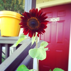 One of my sunflowers bloomed!  #sunflower #red #nature #bloom #sun