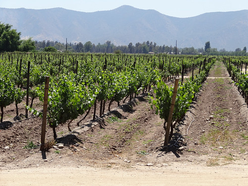 santiago chile wine vineyard vitisvinifera angiosperm floweringplsnts