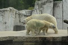 Eisbären Larissa und  Vitus im Zoo Karlsruhe