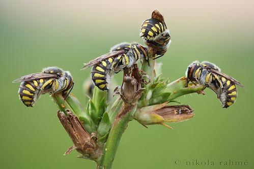 earlymorning naturallight insects bee macrophotography masonbees hymenoptera megachilidae focusstack canonef100mmf28macrousm fieldshooting canoneos5dmarkii zerenestacker manfrotto055protripod newportm423 sunwayfotoquickreleasesystem