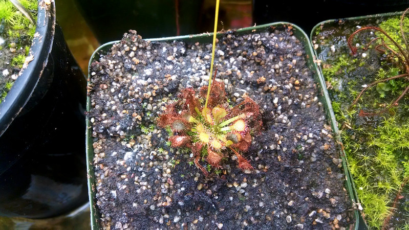 Drosera capillaris, somewhat set back.