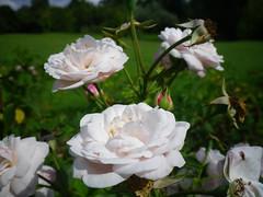 Petit Trianon flower Gardens, Versailles