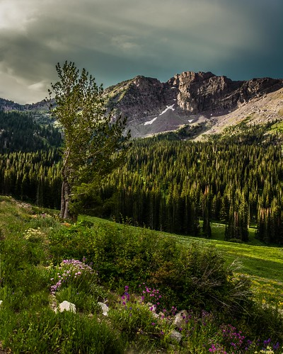 morning mountain tree sunrise utah cloudy alta wildflowers pinetrees littlecottonwoodcanyon albionbasin d7100