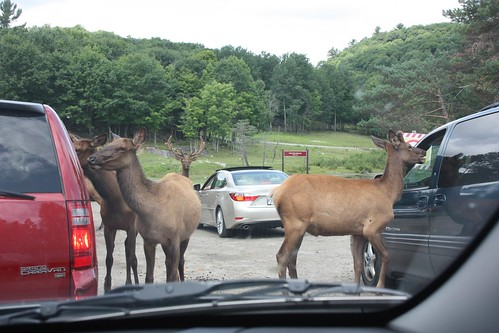 Deers at Parc Omega