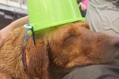 Wet Dog, Songkram in Chiang Mai, Thailand