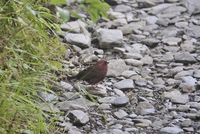 玉山登山步道的野鳥