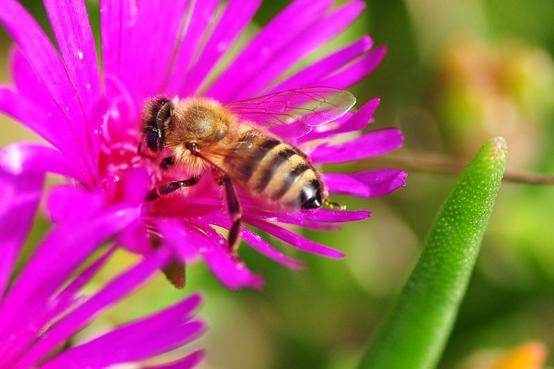 Pflanze Blume Blüte Insekt Biene Foto Brigitte Stolle