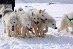 berger blanc suisse(0.0), korean jindo dog(0.0), samoyed(0.0), animal(1.0), dog(1.0), hokkaido(1.0), winter(1.0), snow(1.0), pet(1.0), white shepherd(1.0), mammal(1.0), greenland dog(1.0), sled dog racing(1.0),