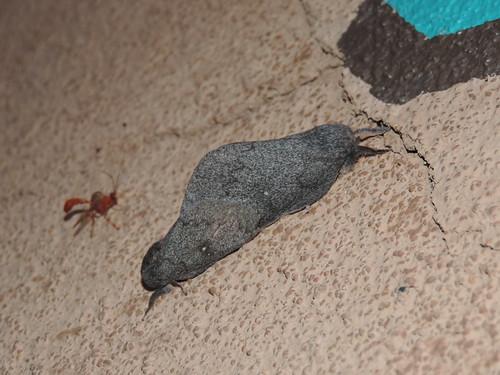 Saturnid moth