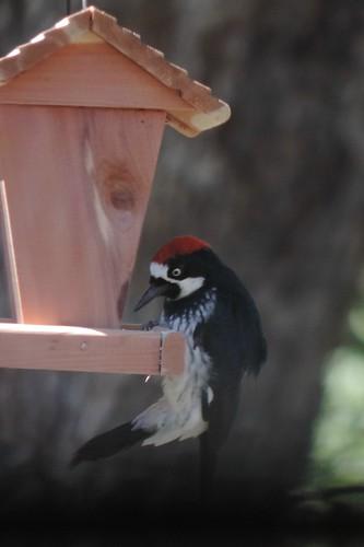 #89 Acorn Woodpecker (Melanerpes formicivorus)