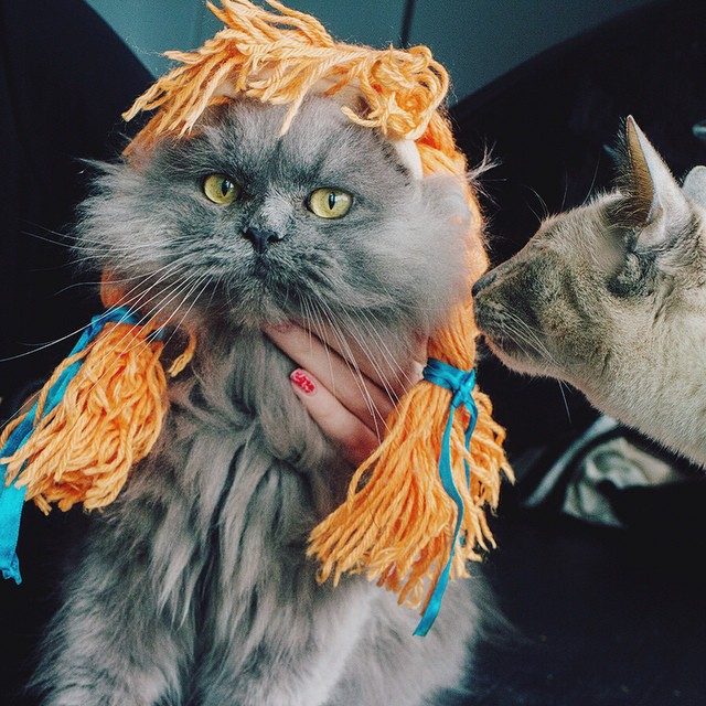Goblin went to the salon and got a new hair style. Xanadu is confused by this.  #goblin #cats #cat #persiancat #Persian #fluffy #fluffball #kitten #furry #catsofinstagram #greycat #braids #hair #style #doll #siamesecat #cutie #costume #catcostume