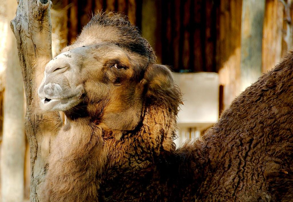 Bactrian camel (Camelus bactrianus)_2