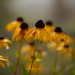 Black-eyed Susans by laszlofromhalifax
