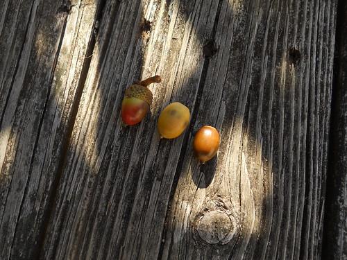 multicolored acorns