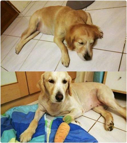 「認養」桃園平鎮布丁(拉拉6歲) Coco(黃金獵犬4歲),都已結紮是小姐~誠徵會照顧他一輩子的新家~謝謝您!20140922