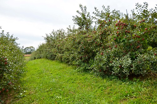 Apple Picking - Honeycrisp