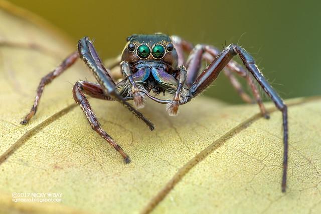 Jumping spider (Salticidae) - DSC_0554