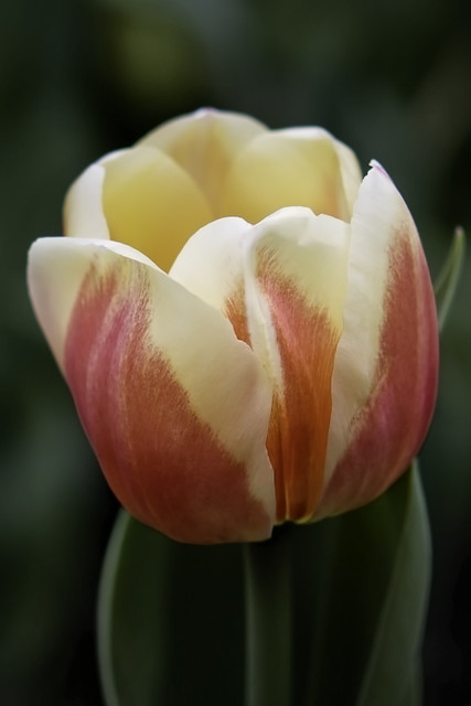 Descanso Orange & Yellow Tulip