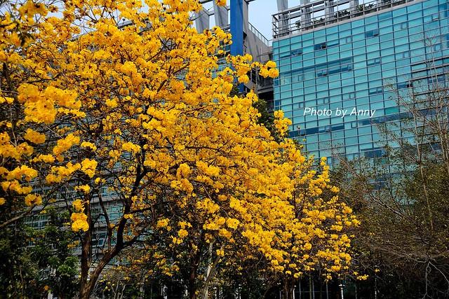 黃風鈴木2
