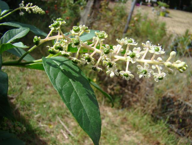 212-PHYTOLACCA-Fleurs et fruits verts, Sony DSC-H9